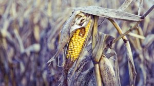 dying corn